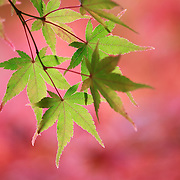 Momiji Japanese maple leaves that have yet to change colors in autumn against a background of momiji leaves that have turned a pink and red. Photographed at Nison-in, Kyoto.
