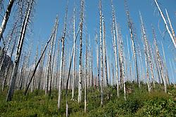 Burned Over Lodgepole Pine Forest, St, Mary Falls Trail, Glacier National Park, Montana, US