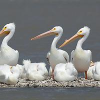 White Pelicans 3/19/2010 Aransas Bay near Fulton TX