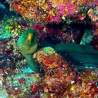 Green Moray Eel, Gymnothorax funebris, Ranzani, 1840, on the reef, Grand Cayman