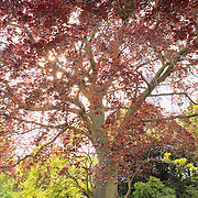 Regents Park Red Tree - London, UK