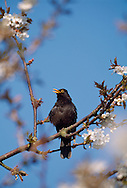 Blackbird Turdus merula L 25-28cm. Familiar ground-dwelling bird. Sexes are dissimilar. Adult male has uniformly blackish plumage. Legs are dark but bill and eyering are yellow. 1st winter male is similar but bill is dark and eyering is dull. Adult and 1st winter female are brown, darkest on wings and tail, and palest on throat and streaked breast. Juvenile is similar to adult female but marked with pale spots. Voice Utters harsh and repeated tchak alarm call, often at dusk. Male has rich, fluty and varied song. Status Common and widespread in gardens, but in woodland, farmland and coasts. Upland birds move to lower levels in winter and migrants arrive from Europe.