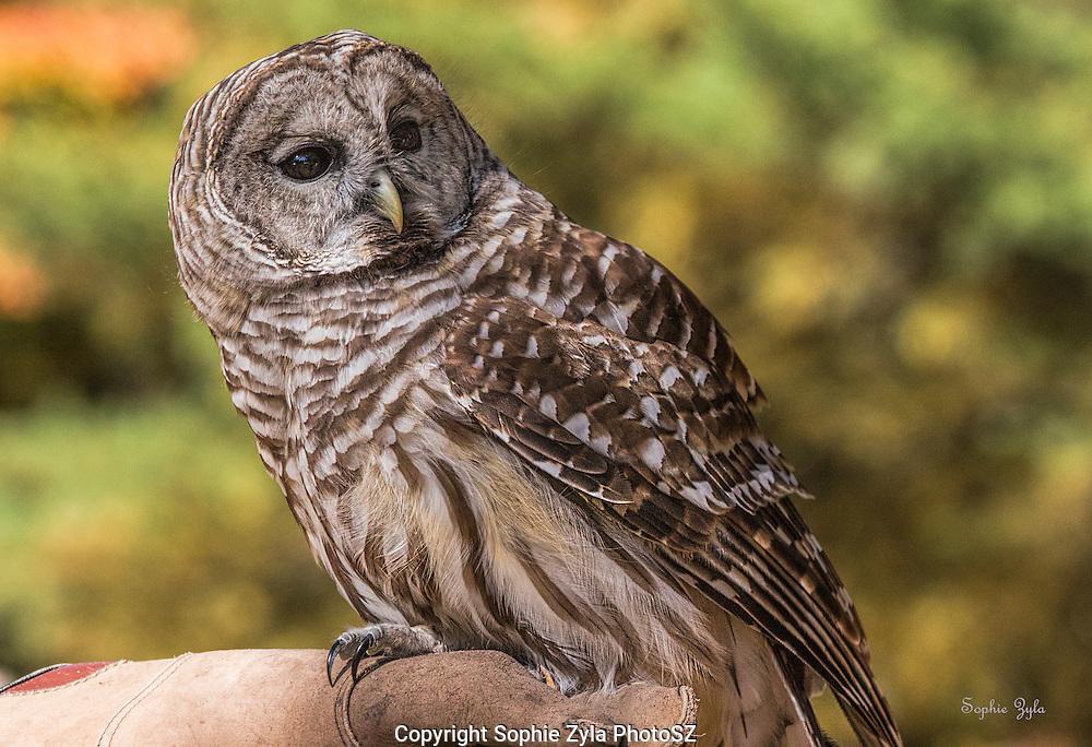 Fall foliage and New England Owls