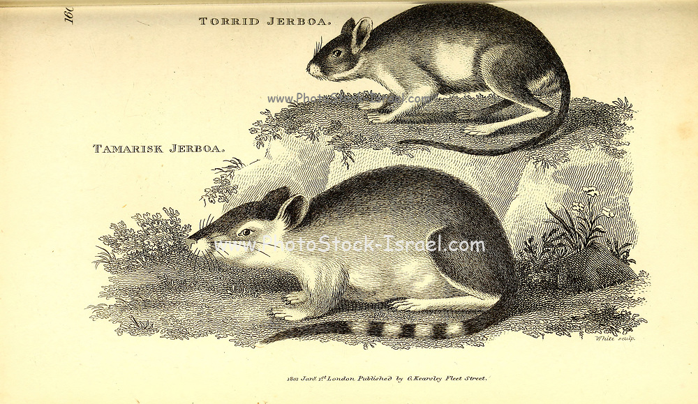 Jerboa from General zoology, or, Systematic natural history Vol 2 Mammalia, by Shaw, George, 1751-1813; Stephens, James Francis, 1792-1853; Heath, Charles, 1785-1848, engraver; Griffith, Mrs., engraver; Chappelow. Copperplate Printed in London in 1801 by G. Kearsley