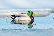 A male mallard swims in the icy water of Salt Pond in Eastham.
