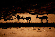 3  dorcas gazelles (Gazella dorcas) Silhouetted at sunset under an acacia tree. The dorcas gazelle (Gazella dorcas), also known as the ariel gazelle, is a small and common gazelle. The dorcas gazelle stands about 55–65 cm at the shoulder, with a head and body length of 90–110 cm and a weight of 15–20 kg. Photographed in the Negev Desert, Israel in July
