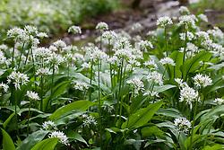 Wild Garlic. Ramsons. Allium ursinum