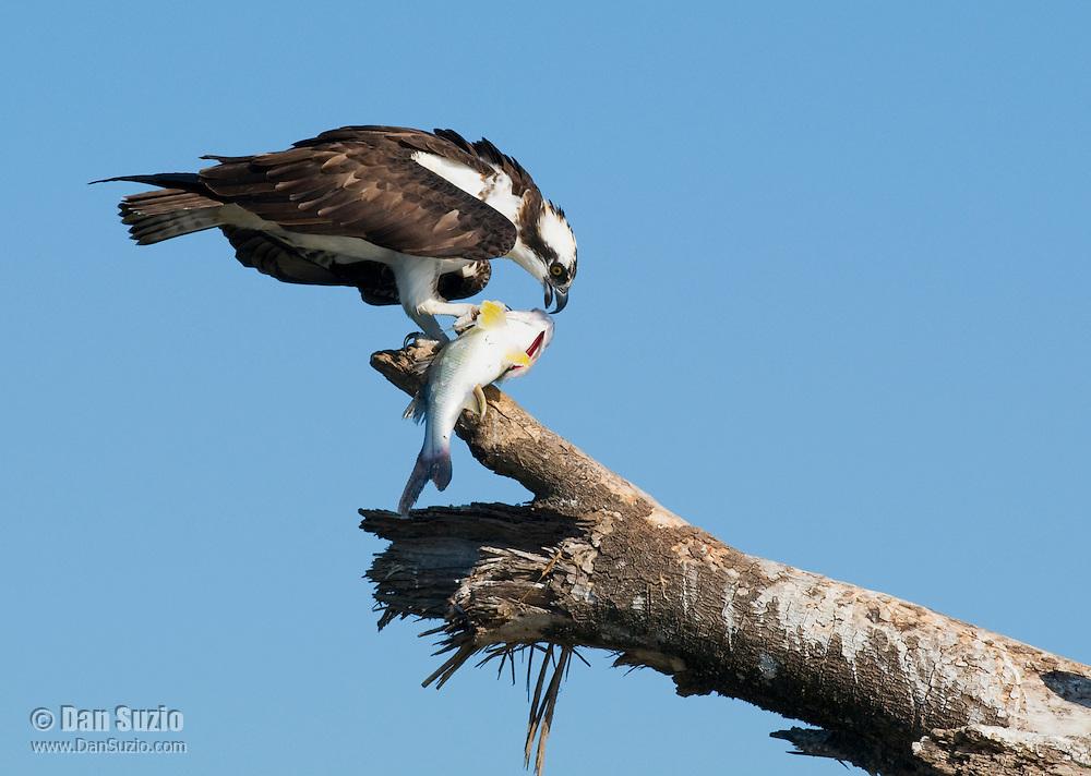 Osprey, Pandion haliaetus, eating fish. Tarcoles River, Costa Rica