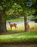 """Buck and Doe """"Why did you Mow the Grass???"""" . Image taken with a Nikon 1 V3 camera and 70-300 mm VR lens"""