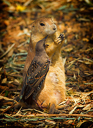 The starling is trying really hard to steal that food from the prairie dog.