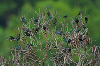 Asian Glossy Starling (Aplonis panayensis) flock in the top of a leafless tree.
