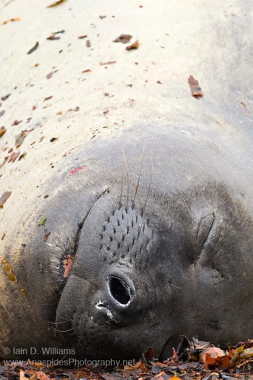 Sleeping female southern elephant seal