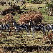 Burchell's Zebra, (Equus burchelli) Grazing on Serengeti Plains. Masai Mara Game Reserve. Kenya.Africa.