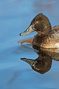 Stock photo of lesser scaup captured in Colorado.  It is the most widespread and abundant diving duck in North America.