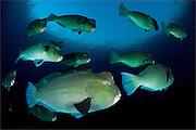 Large school of bumphead parrotfish: Bulbometopon muricatum, found around the liberty wreck, Bali