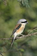 Bay-backed Shrike - Lanius vittatus