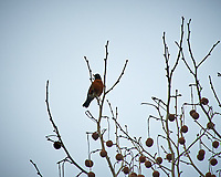 American Robin. Image taken with a Nikon D300 camera and 80-400 mm VR lens (ISO 200, 400 mm, f/5.6, 1/1250 sec).