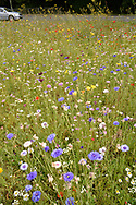 Roadside verge - sown with arable flowers