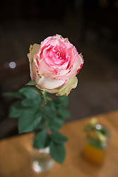 Close-up of pink rose with leaves