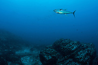 A Yellowfin Tuna hunts above the peak of a submerged seamount<br /> <br /> <br /> Shot at Cocos Island, Costa Rica