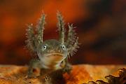 Alpine Newt (Triturus alpestris) Larvae | Ca. 14 bis 30 Tage nach der Eiablage schlüpfen aus den Eiern der Bergmolche (Triturus alpestris) die Larven. Typischerweise entstehen bei Molchen - im Genensatz zu den Froschlurchen - zunächst die vorderen Gliedmaßen, erst später die hinteren. Beim Übergang zum adulten Tier bilden sich die auffälligen äußeren Kiemen zurück. Bei Bergmolchen ist häufig das Phenomen der Neotenie beobachtet worden. Dabei wächst ein Molch heran, der nie das Larvenstadium mit den externen Kiemen und das Leben im Wasser hinter sich läßt. Diese Individuen können auch geschechtsreif werden und sich fortpflanzen.