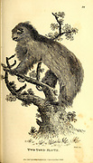 Two-toed Sloth from General zoology, or, Systematic natural history Part I, by Shaw, George, 1751-1813; Stephens, James Francis, 1792-1853; Heath, Charles, 1785-1848, engraver; Griffith, Mrs., engraver; Chappelow. Copperplate Printed in London in 1800. Probably the artists never saw a live specimen