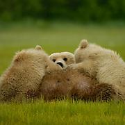 Alaskan Brown Bear, (Ursus middendorffi) Mother nursing cubs. Katmai National Park. Alaska.
