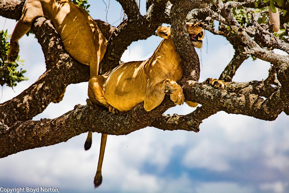 A lion pride climbed a sausage tree to sleep and escape biting flies.