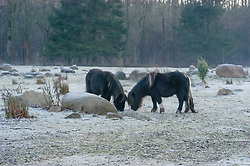 Shetlander, Paard, Equus ferus caballus