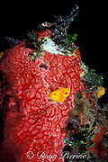 red encrusting sponge, Monanchora barbadensis, <br /> and yellow boring sponges, Siphonodictyon <br /> coralliphagum, Belize ( Caribbean Sea )