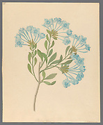 Plombago capensis [Plumbago auriculata] (1817) [cape leadwort, blue plumbago or Cape plumbago] from a collection of ' Drawings of plants collected at Cape Town ' by Clemenz Heinrich, Wehdemann, 1762-1835 Collected and drawn in the Cape Colony, South Africa