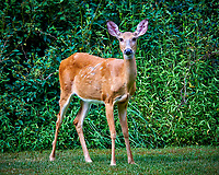 Wary Doe. Image taken with a Nikon D300 camera and 80-400 mm VR lens (ISO 800, 270 mm, f/6.3, 1/160 sec).