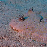 Flatfishes