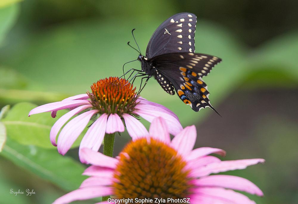 Black Swallowtail on Echinacea