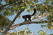 Bearded Saki (Chiropotes chiropotes)<br /> Karanambu<br /> Rupununi<br /> GUYANA<br /> South America<br /> RANGE: Occurs north of the Amazon throughout the Guianas, southern and central Venezuela and northern Brazil.
