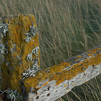 Lichens cover decaying fence posts in old sheep pastures on New Island in Britain's Falkland Islands.  The owners now keep grazing animals away from a nearby bird rookery.