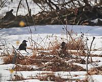 American Crow (Corvus brachyrhynchos). Image taken with a Nikon D850 camera and 500 mm f/4 VR lens.