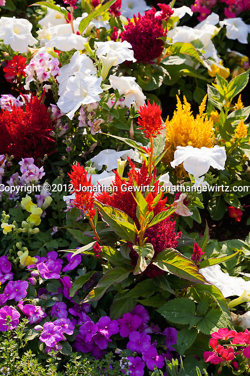 A garden plot populated with a dense assortment of colorful wildflowers. WATERMARKS WILL NOT APPEAR ON PRINTS OR LICENSED IMAGES.