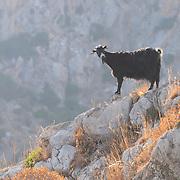 Goat on the rocks of Crete mountains