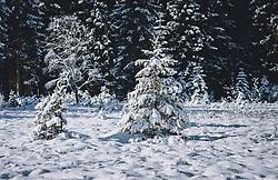 THEMENBILD - kleine Tannenbäume mit Schnee bedeckt auf einer freien Schneefläche. Das Naturdenkmal Wasenmoos lädt auch im Winter zu ausgedehnten Wanderungen in den Kitzbüheler Alpen ein, aufgenommen am 21. November 2020 in Mittersill, Oesterreich // small fir trees covered with snow on an open snow field. The natural monument Wasenmoos invites you also in winter to extensive hikes in the Kitzbüheler Alps, in Mittersill, Austria on 2020/11/21. EXPA Pictures © 2020, PhotoCredit: EXPA/Stefanie Oberhauser