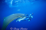 underwater photographer and devil ray, Mobula tarapacana, with remoras and pilotfish, Naucrates ductor, Faial, Azores Islands, Portugal ( North Atlantic Ocean )