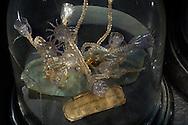 DEU, Deutschland: Campanularia caliculata, Leptomeduse, dieses Glasmodell stammt aus dem Werk der naturwissenschaftlichen Glaskünstler Leopold Blaschka (1822-1895) und Sohn Rudolf Blaschka (1857-1939). Zwischen 1863 und 1890 entstanden in der Dresdner Werkstatt Tausende Glasmodelle wirbelloser Meerestiere, die ihren Weg in Museen und Universitäten der ganzen Welt fanden. Diese Nachbildungen verblüffen bis heute, denn sie sind morphologisch fehlerfrei und halten naturwissenschaftlichen Betrachtungen bis ins Detail stand - die perfekte Verschmelzung von Kunst und Naturwissenschaft. Die Blaschkas hatten keine Lehrlinge und es gibt keine weiteren Nachfahren. Vater und Sohn haben das Geheimnis ihrer einzigartigen Technik mit ins Grab genommen, Blaschka-Sammlung; Museum für Naturkunde, Humboldt Universität Berlin | DEU, Germany: Campanularia caliculata, Leptomedusae, this glass model originated from the work of the scientific glass artists Leopold Blaschka (1822-1895) and his son Rudolf Blaschka (1857-1939). Between 1863 and 1890 thousands of glass models of invertebrates sea animals developed in the workshop in Dresden, which found their way in museums and universities of the whole world. These reproductions amaze until today, because they are morphologically exact and withstand scientific examinations in detail - the perfect fusion of art and natural science. The Blaschkas didn?t have apprentices and it gives no further descendants. Father and son took the secret of their inimitable technology also in the grave, Blaschka-collection, Museum For Natural Science, Humboldt University, Berlin |