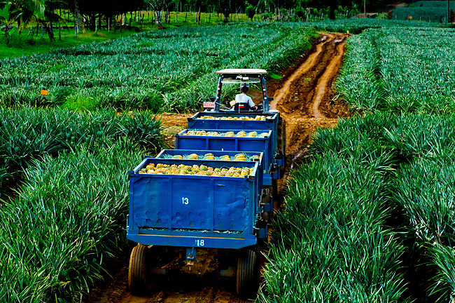Harvested Pinapples Are Trucked Through The Pinapple Fields, Costa Rica.