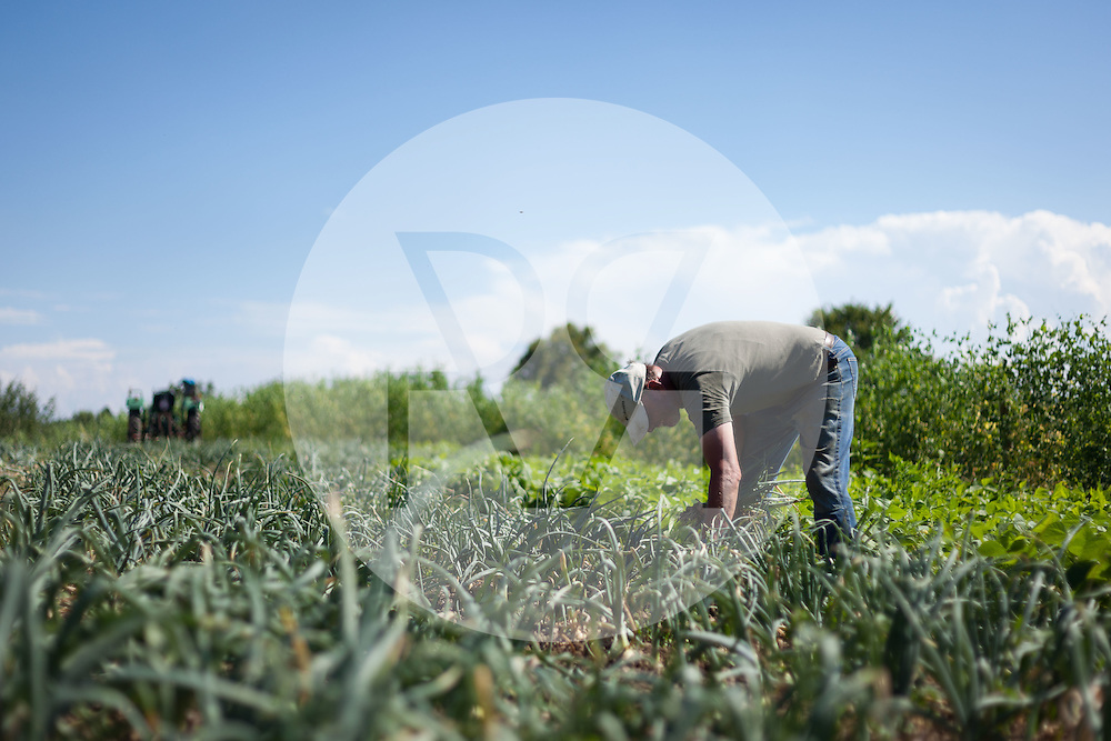SCHWEIZ - MEISTERSCHWANDEN - Ein Bauer erntet Zwiebeln auf dem Feld - 16. Juli 2014 © Raphael Hünerfauth - http://huenerfauth.ch