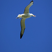 An Albatross soaring at The Royal Albatross Colony at Taiaroa Head, on the tip of the Otago Peninsula, New Zealand. The colony is the only mainland breeding colony for any albatross species found in the southern hemisphere. The first Taiaroa-reared albatross chick flew in 1938 and this now protected nature reserve has grown into an established colony with a population of around 140 birds. Otago Peninsular, South Island, New Zealand, 25th March 2011, Photo Tim Clayton.