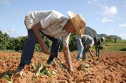 Planting tobacco seedlings on farm near Vinales; Cuba,