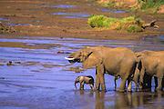 Elephant family, Uwaso nyaro river, Samburu National Reserve, Kenya