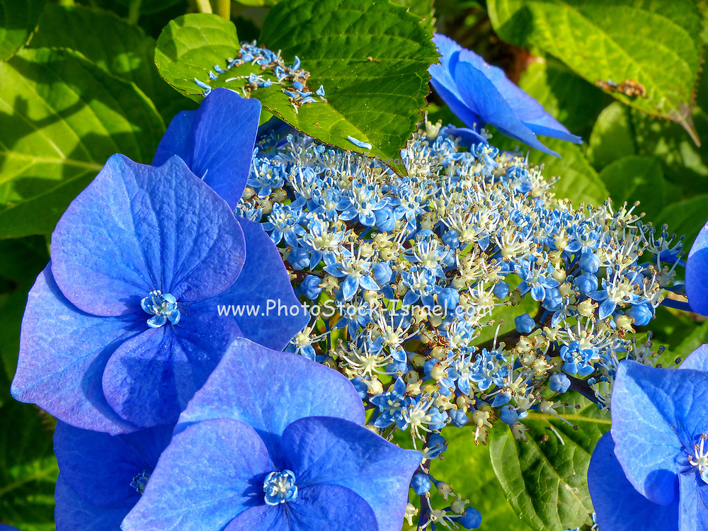 Close-Up Of Blue Flowers Blooming Outdoors. Photo Taken In New Zealand, North Island