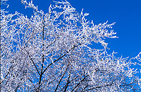 Frost on tree branches against a blue sky, Lower Falls Johnstone Canyon, Banff National Park, Alberta, Canada