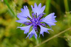 Korenbloem, Centaurea cyanus